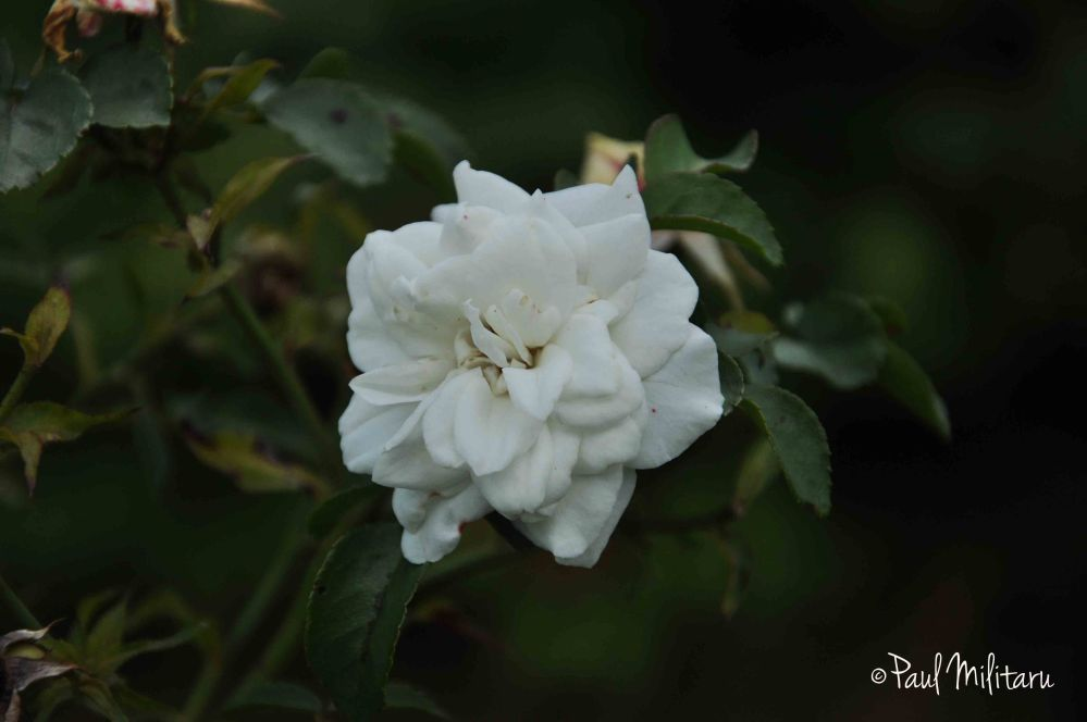white rose in the middle of October