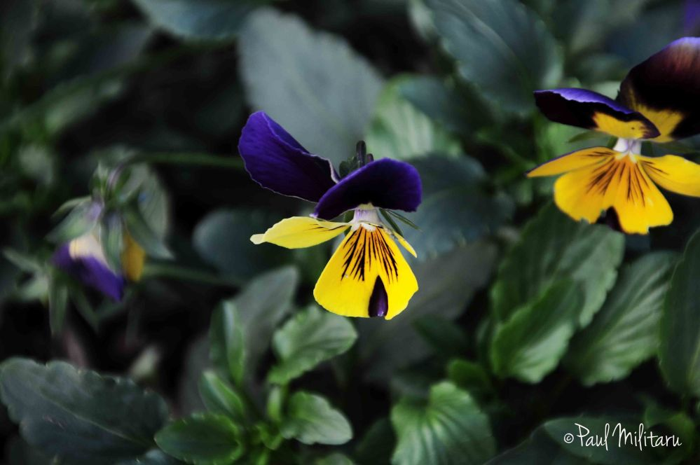 blue yellow pansy