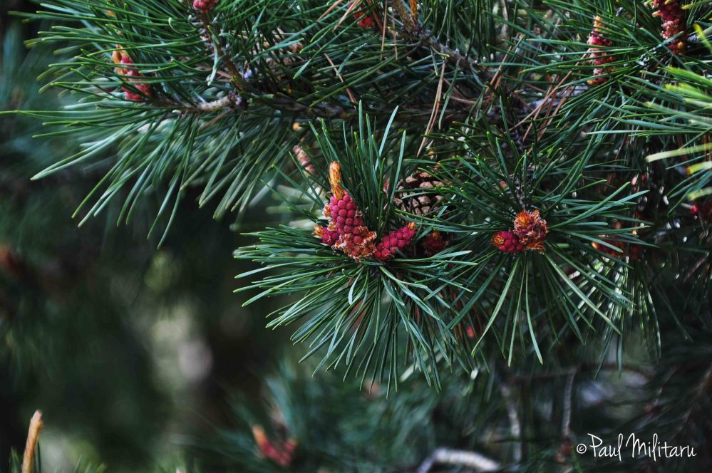 buds and fir cones