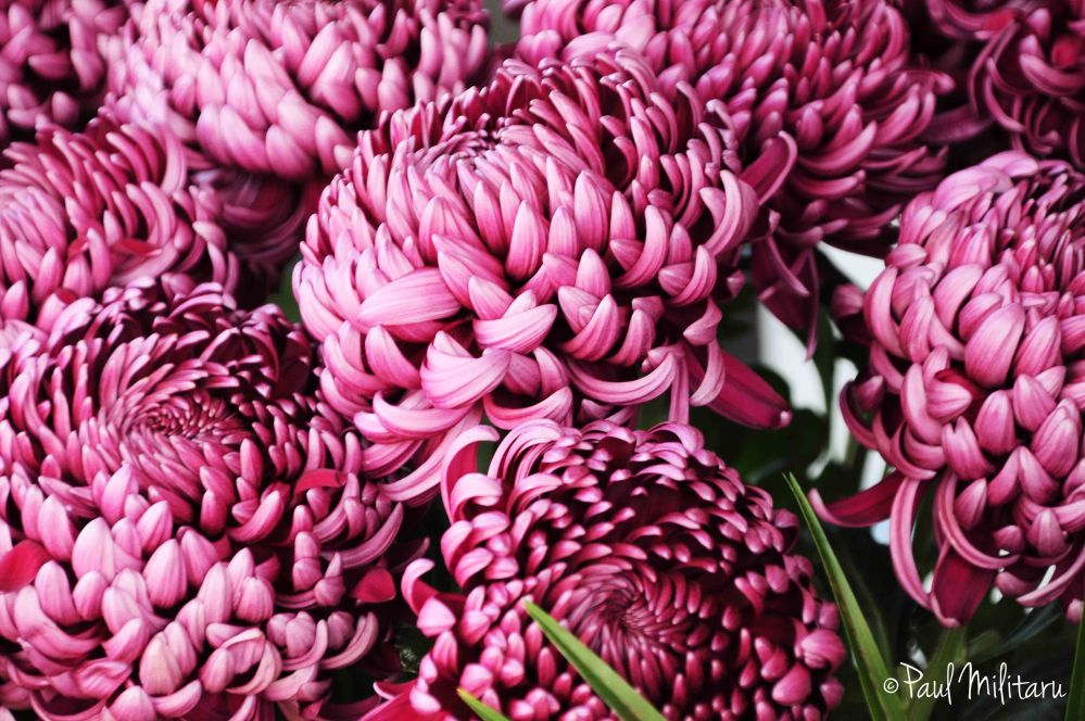 chrysanthemums II - with love