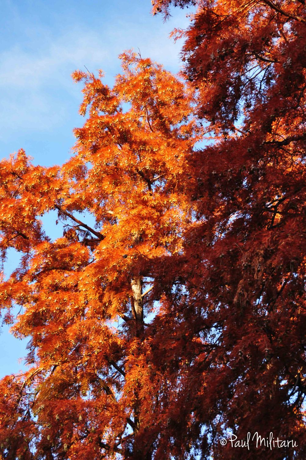 red tree in fall