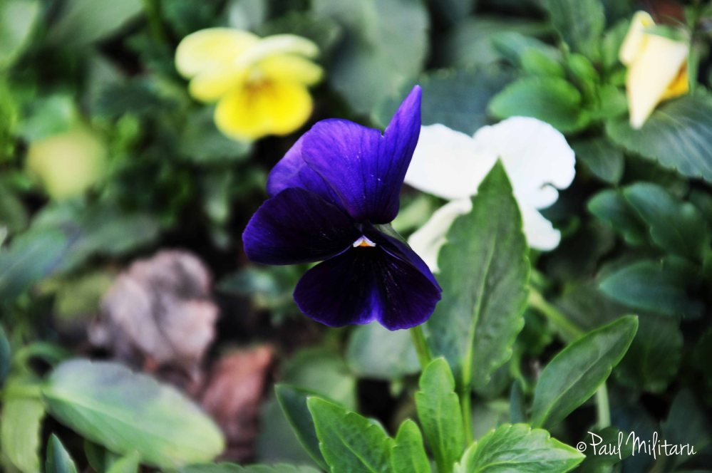 shy pansy