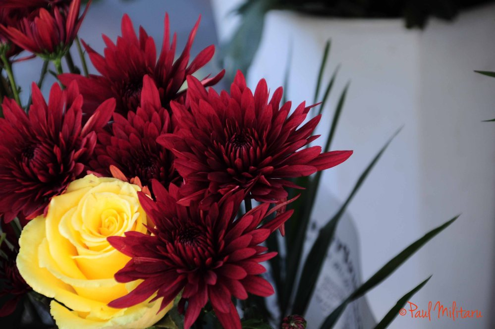 yellow rose and red chrysanthemums