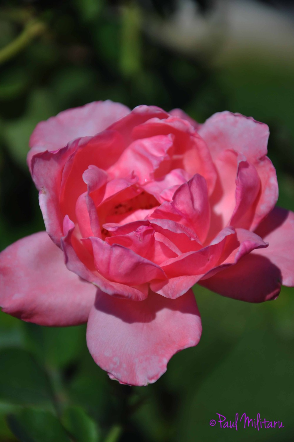 beautiful pink rose for YOU...