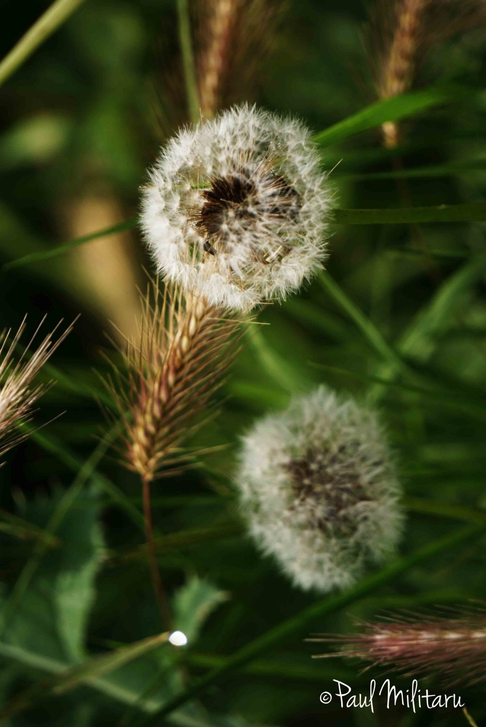 dandelion and wheat