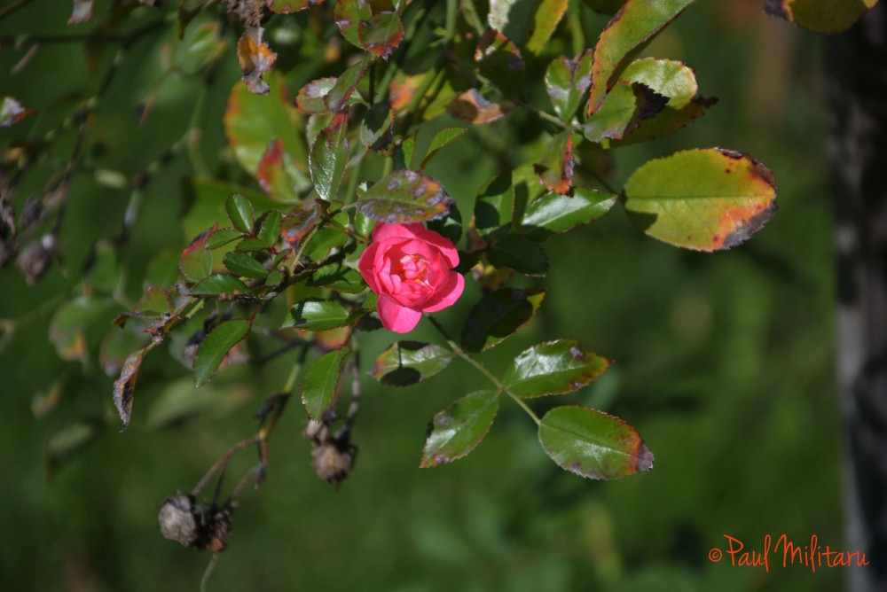 little wild red rose