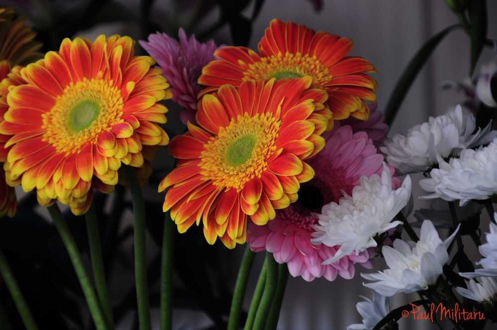red gerbera and white chrysanthemums