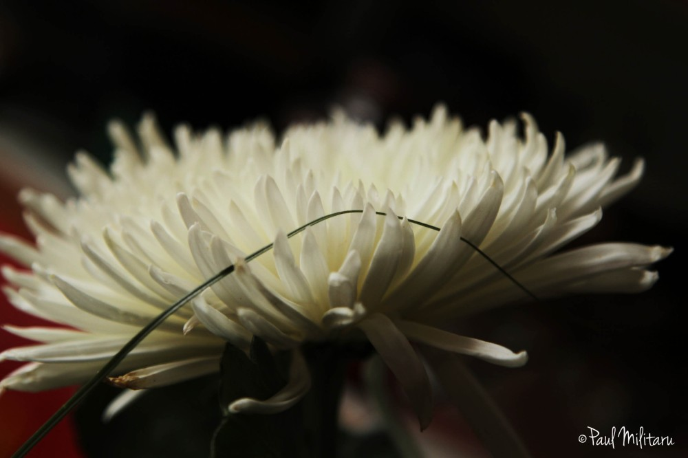 white petals of chrysanthemum