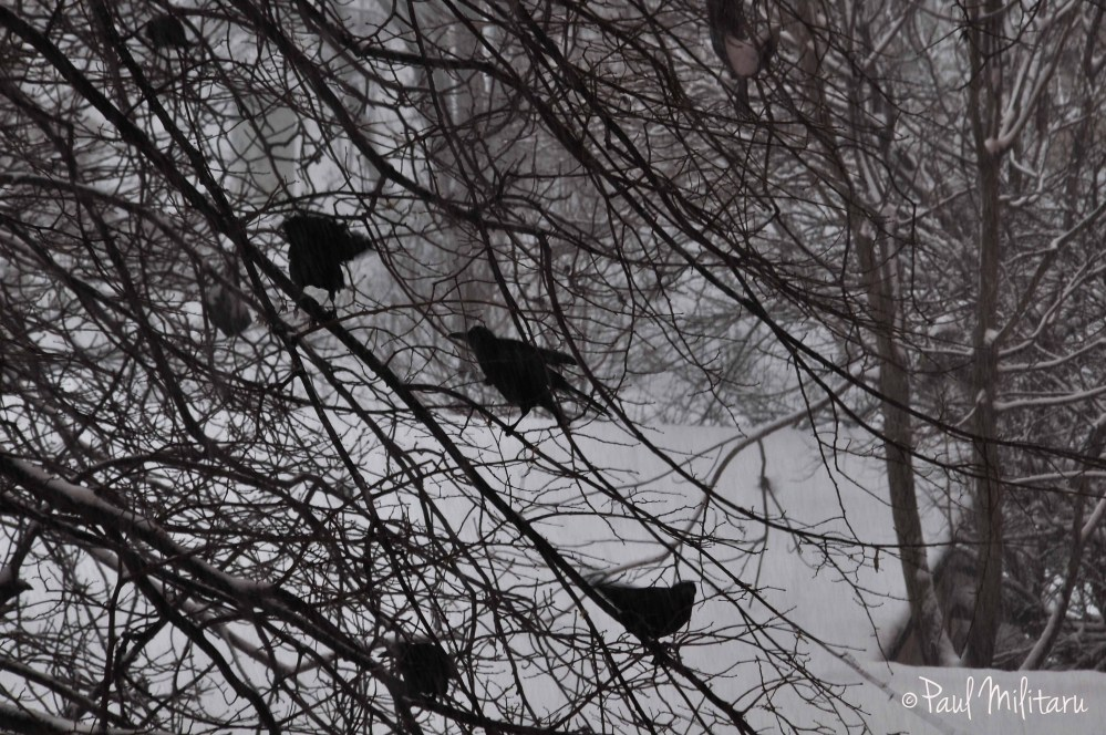 cold for crows