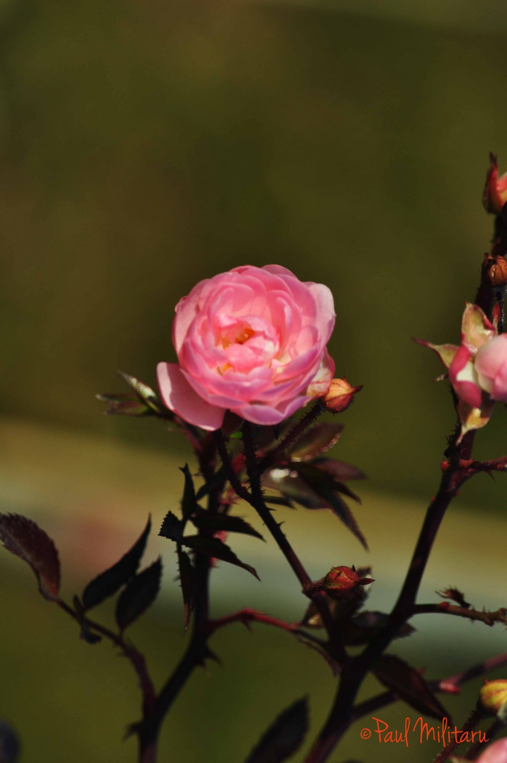 late pink rose
