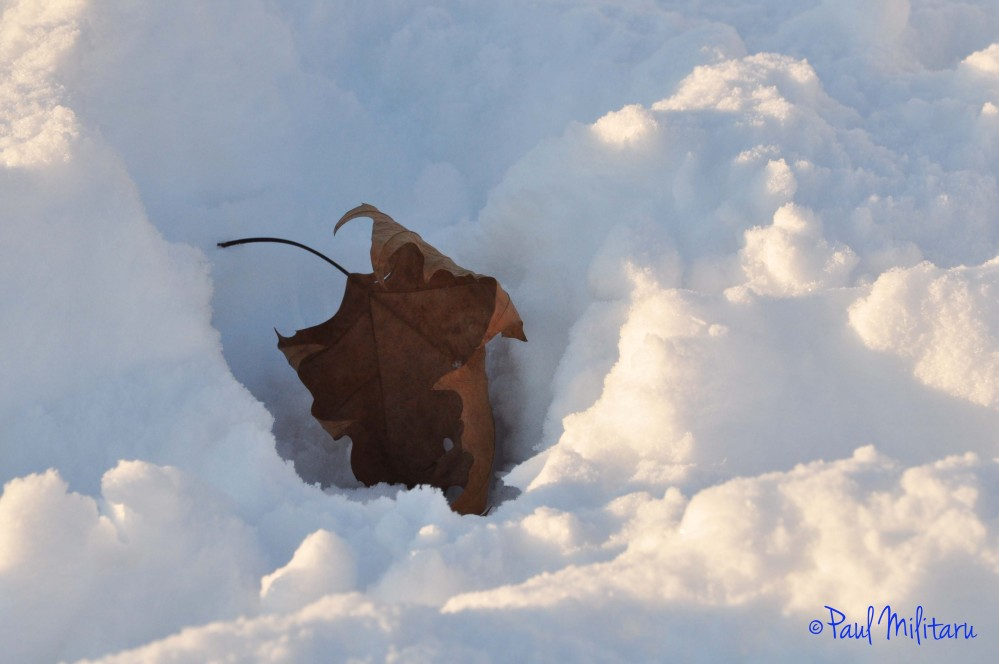 leaf lost in the snow
