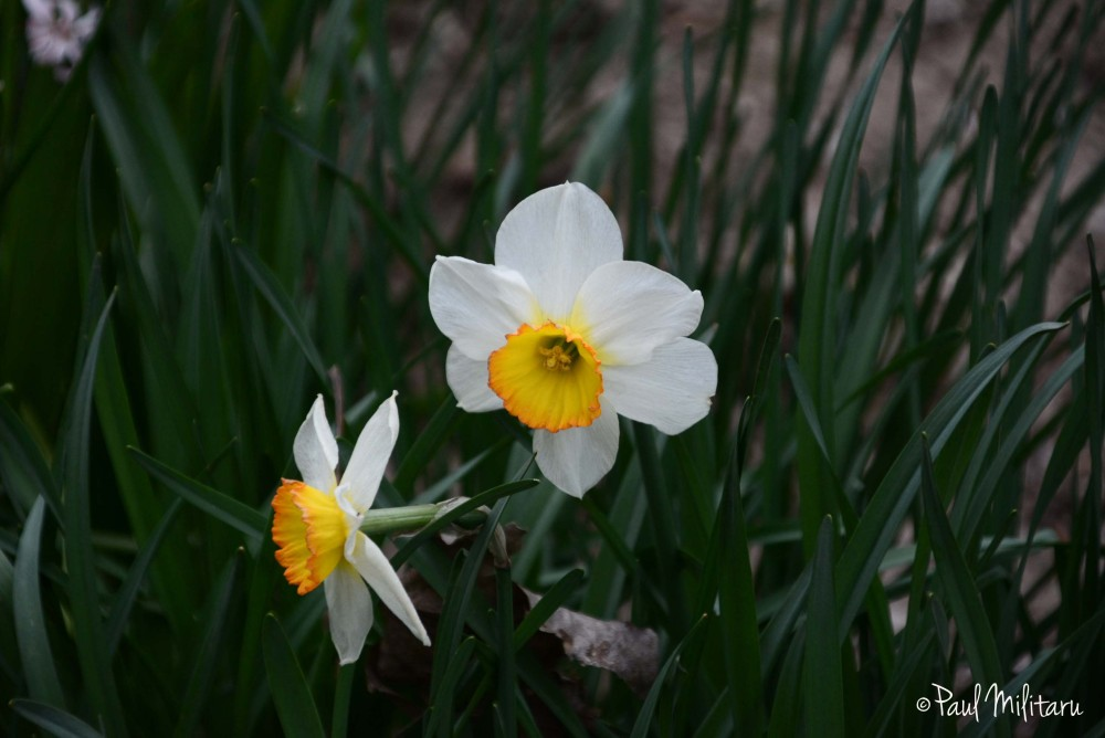 narcissus fragrance