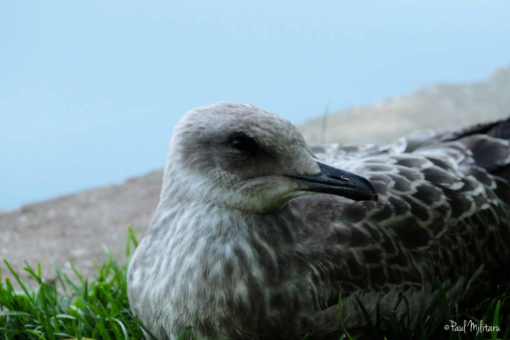 portrait of a seagull 3