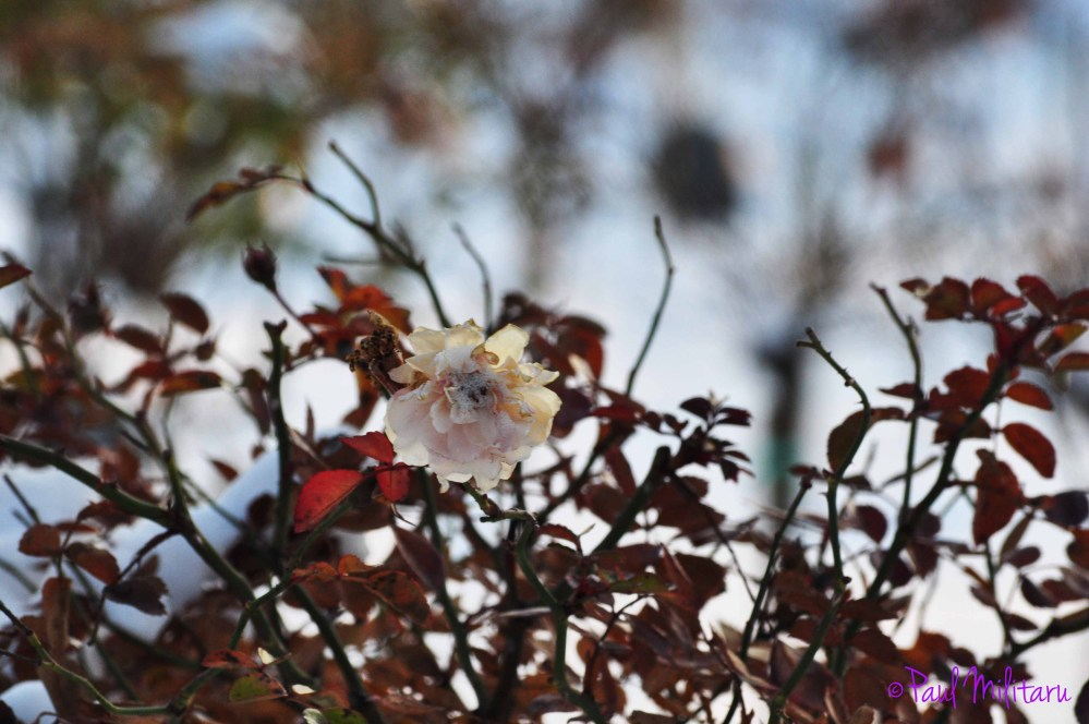rose wilted with cold and snow