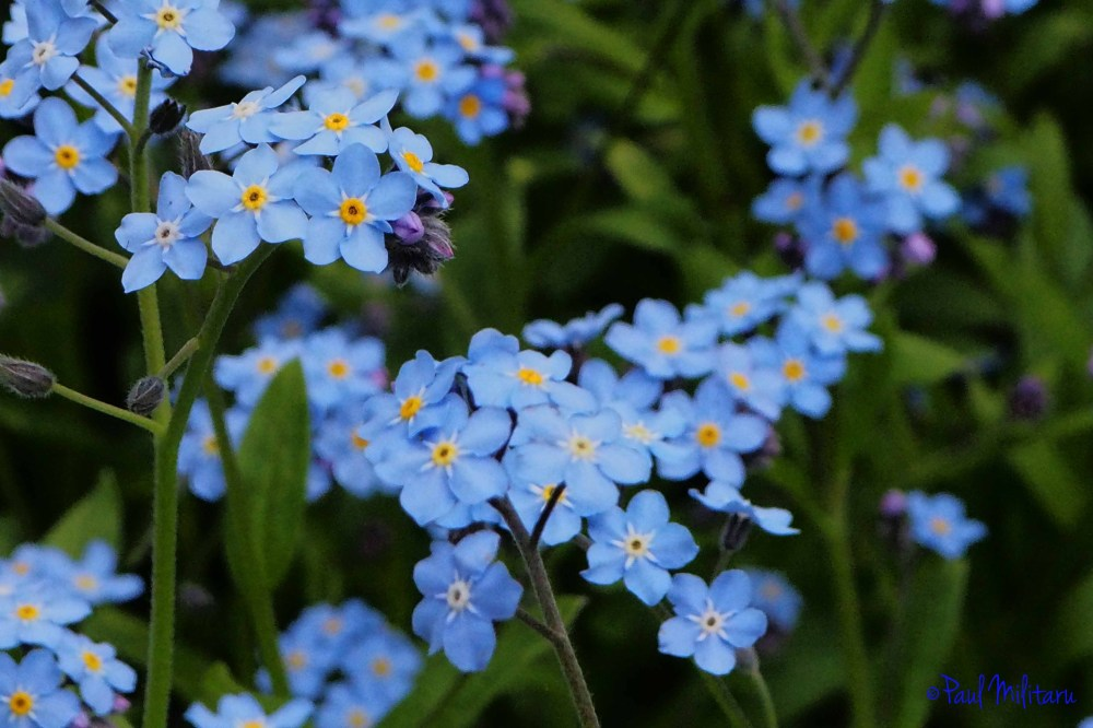 blue - forget me not