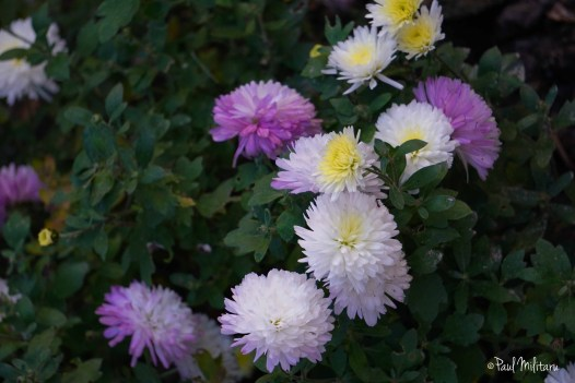 ornamental flowers 1