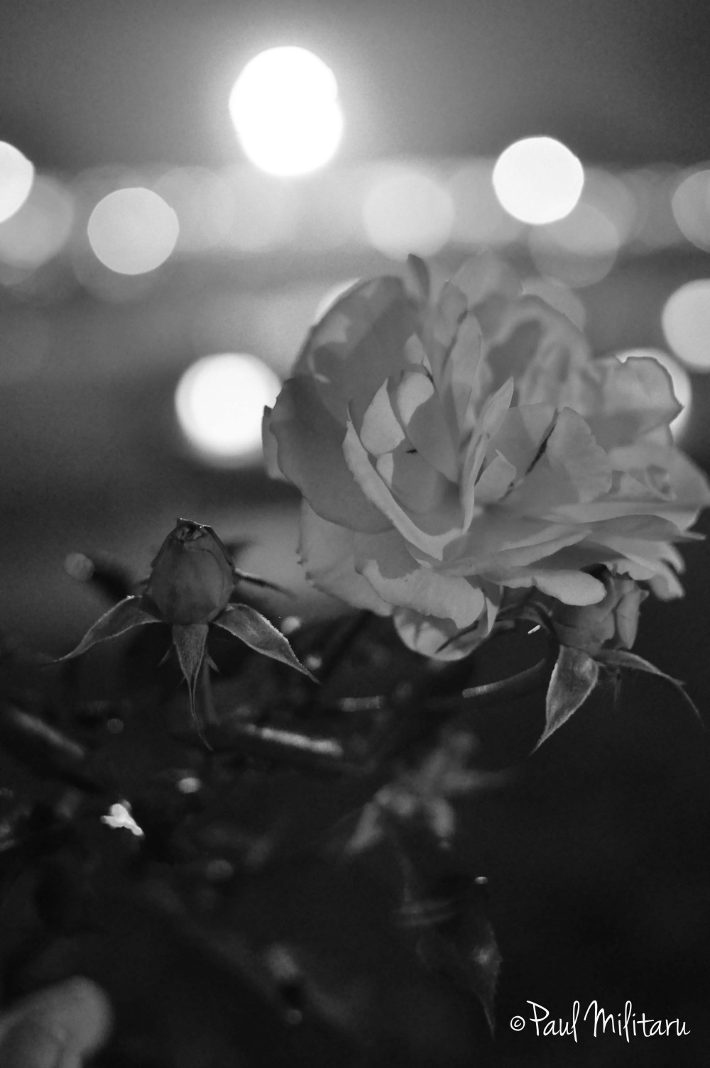 rose in the night