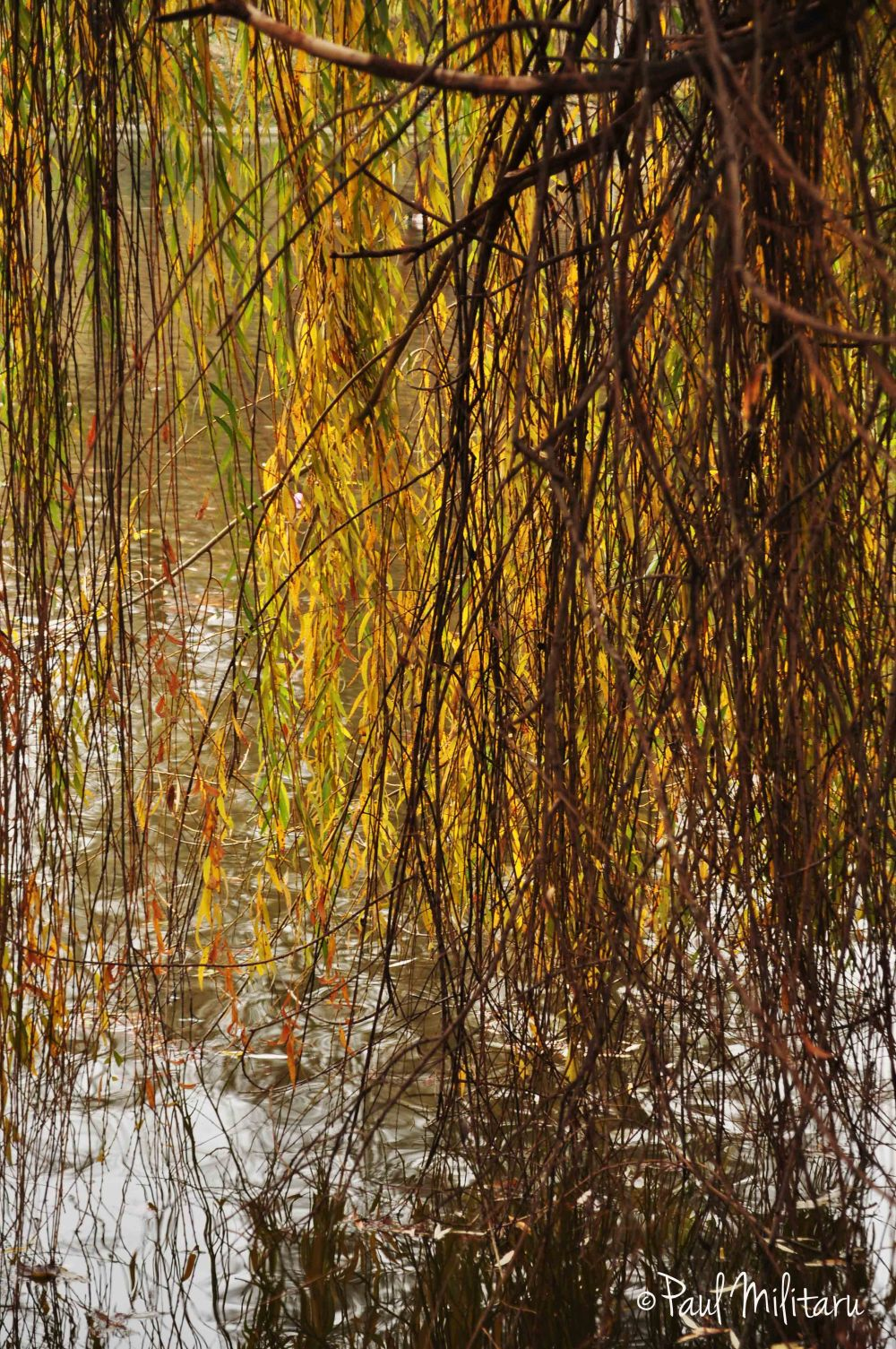 willow on the threshold of winter