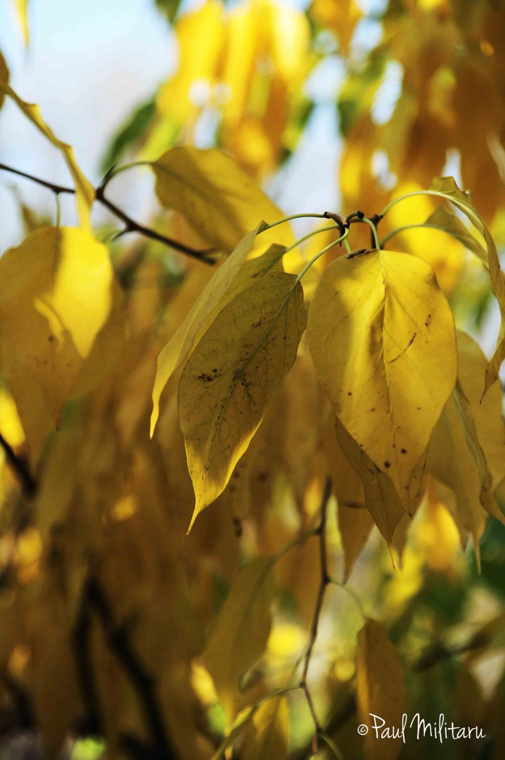 yellow - leaves
