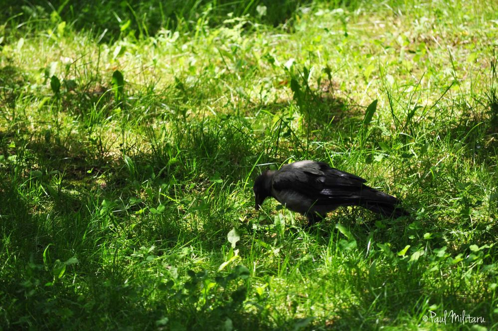 crow looking for food