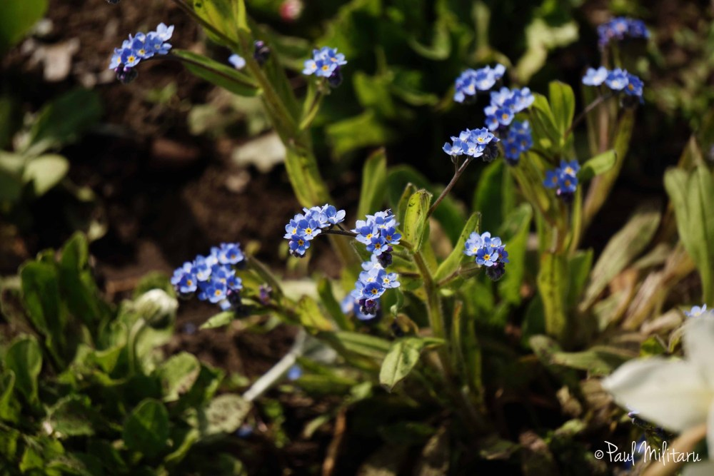 flowers (forget me not)
