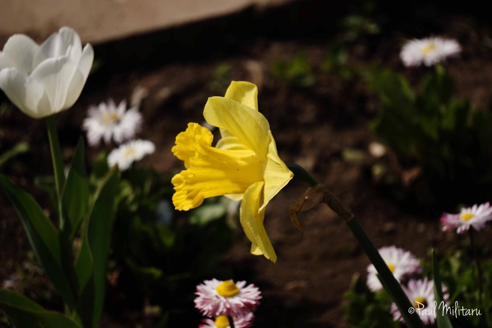 flowers (yellow daffodil)