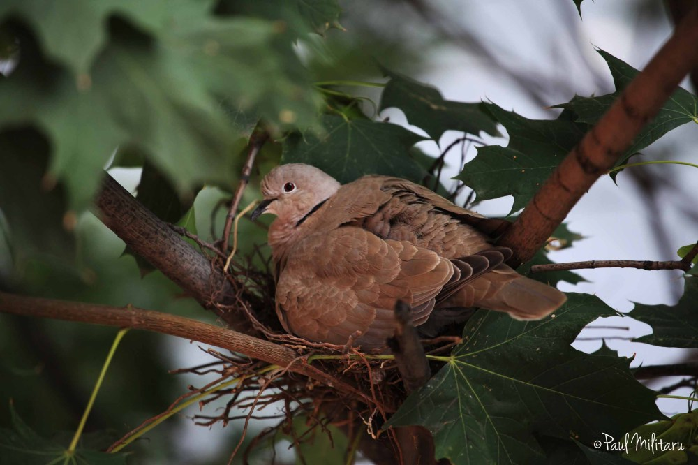 pigeon in the nest
