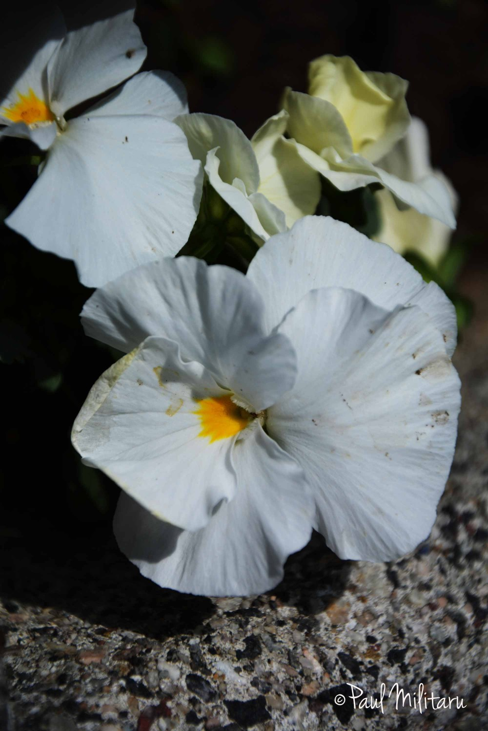 white pansy on stone