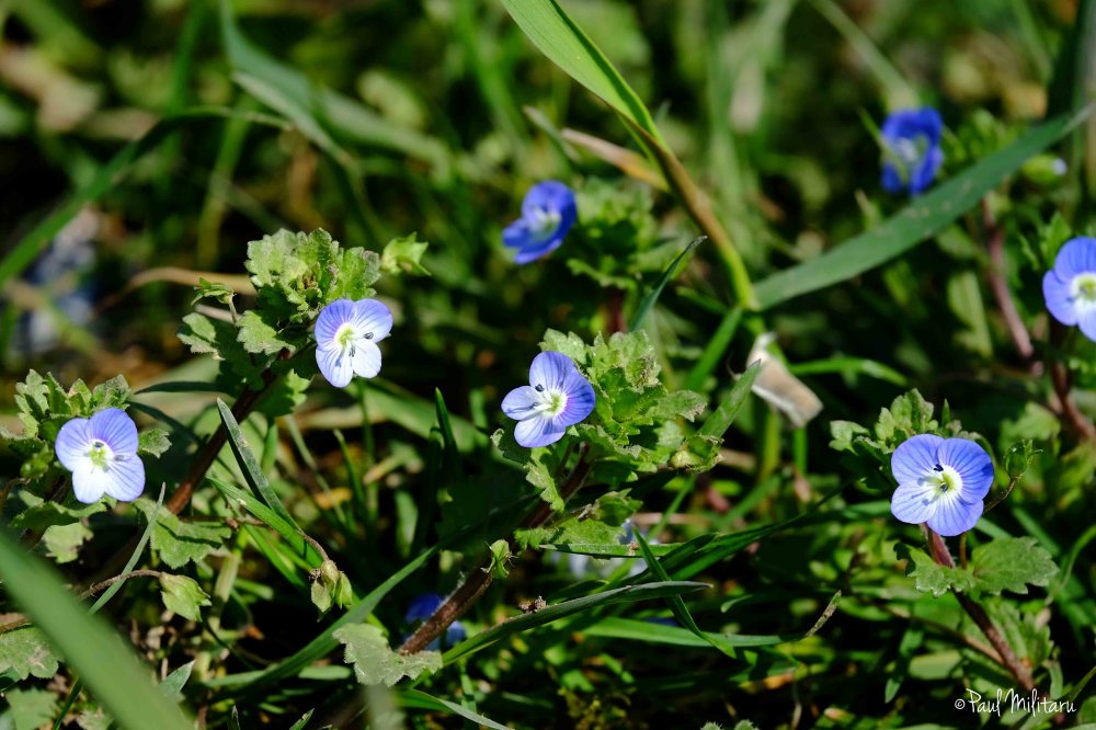 wild little blue flowers