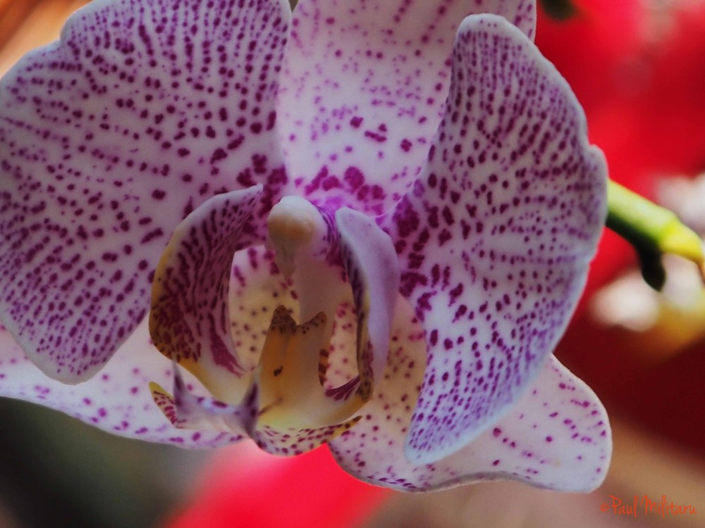 freckled orchid