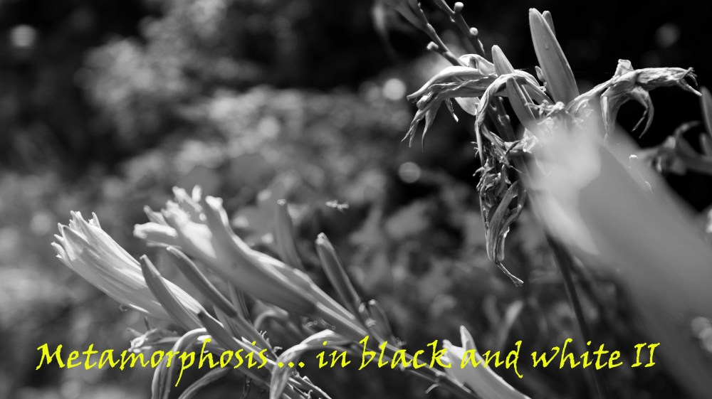 Metamorphosis ... in black and white II