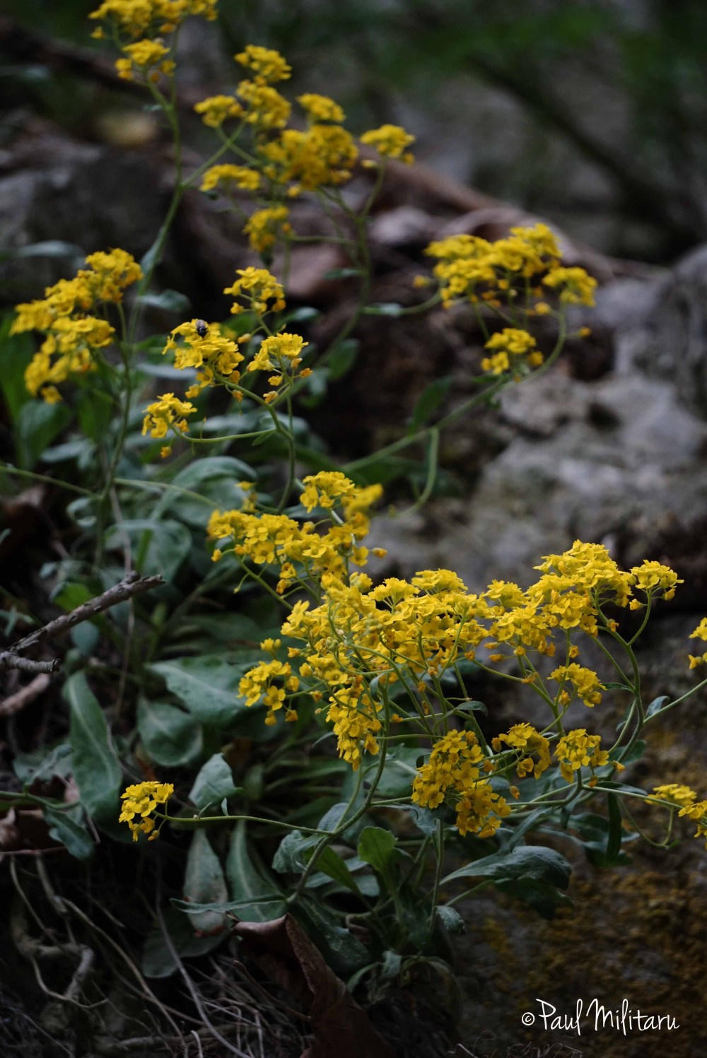 mountain yellow flowers