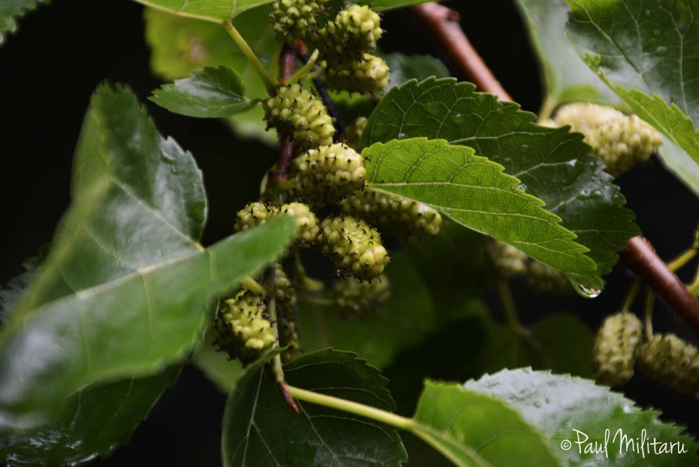 mulberry tree after rain