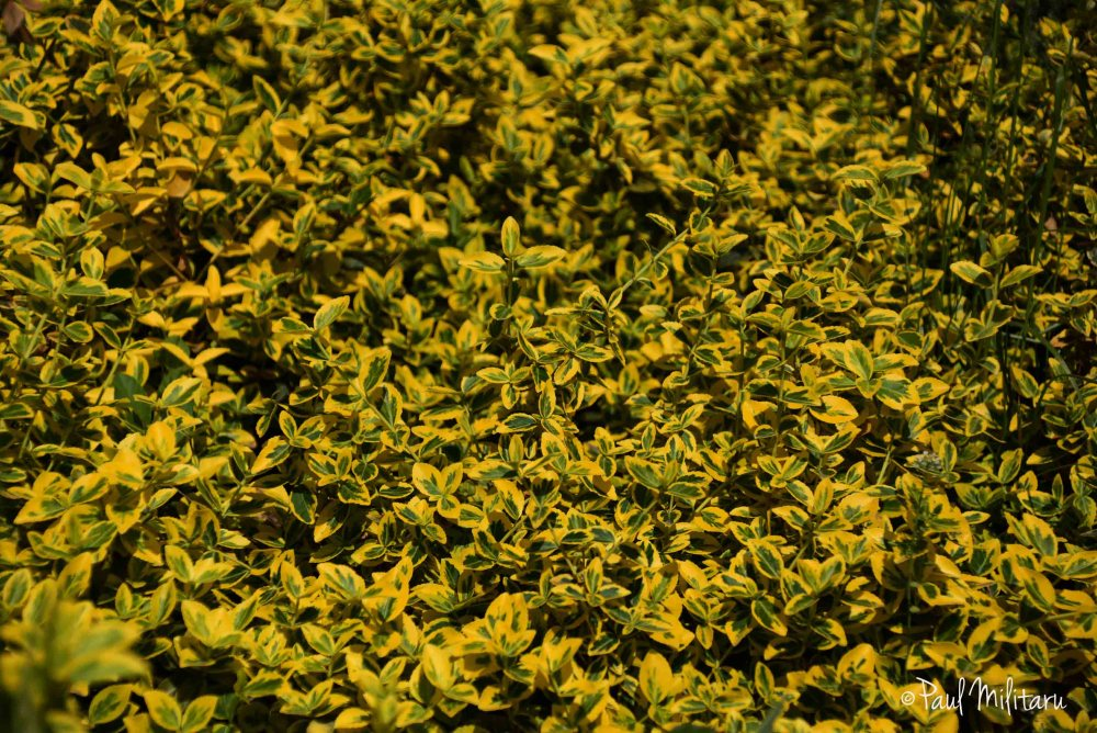 ornamental yellow-green plants