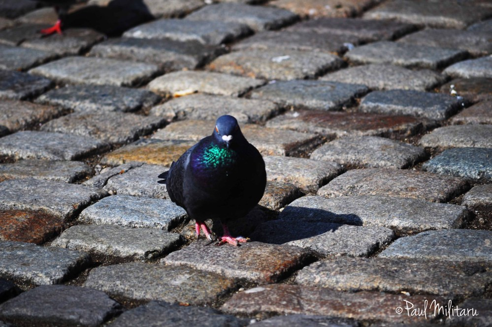 pigeon...on the stones