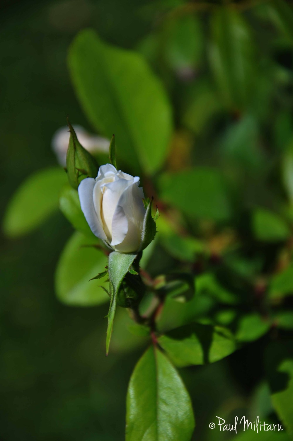 white bud rose