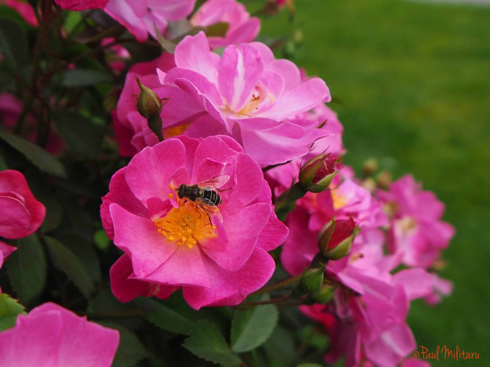 wild roses and...a bee