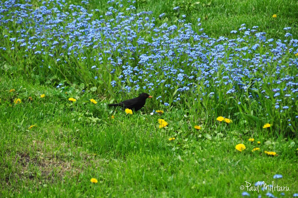 blackbird and forget-me-not flowers