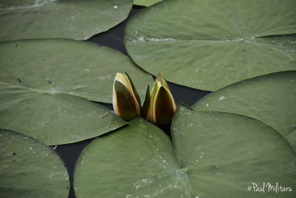 buds of waterlilies