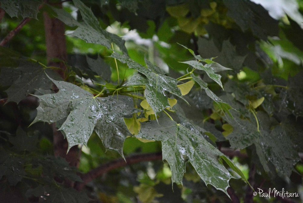drops of rain on the leaves