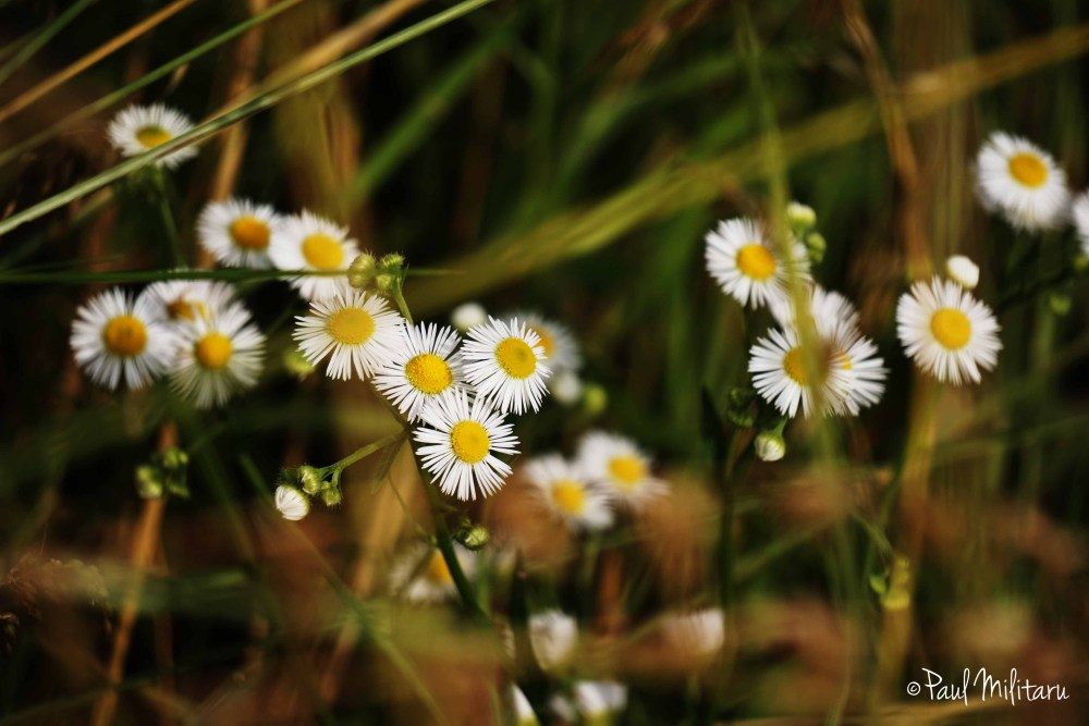 flowers of chamomile