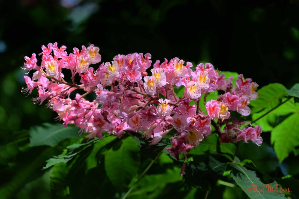 pink flowers of wild chestnut