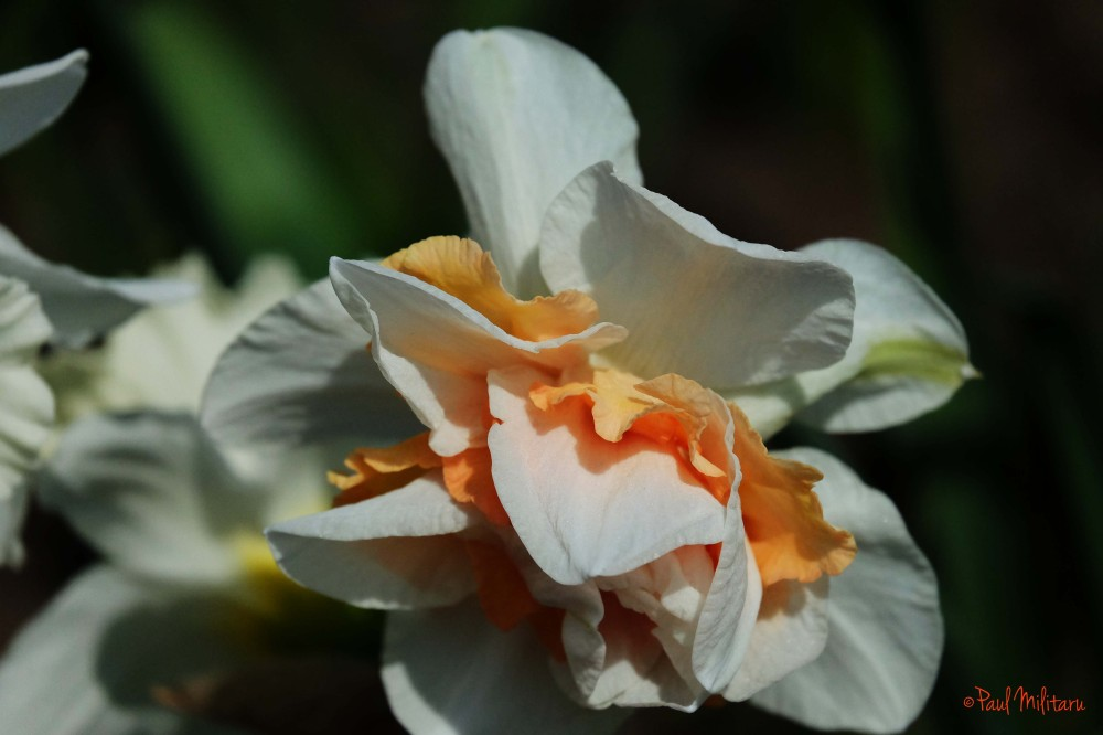white and orange petals of a daffodil