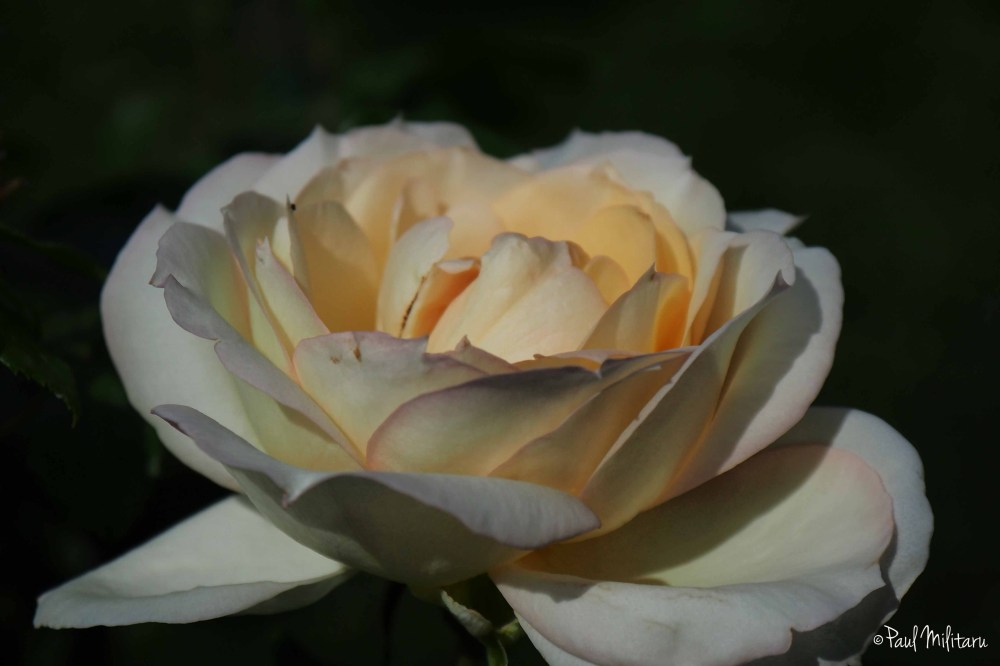 white-yellow rose