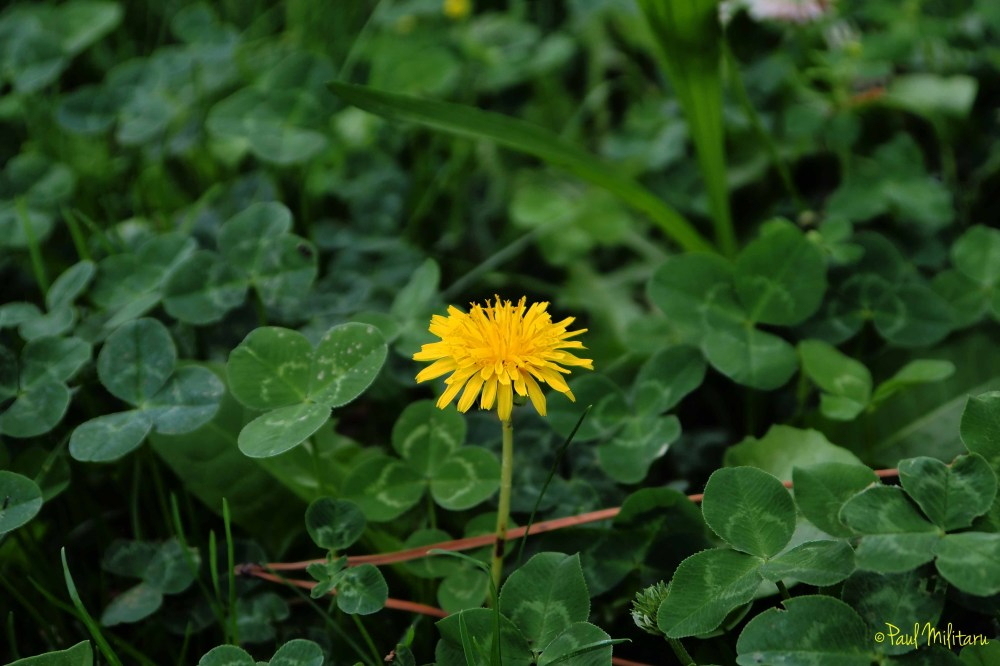 yellow flower in clover
