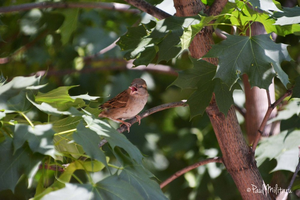 a small sparrow singing in the tree