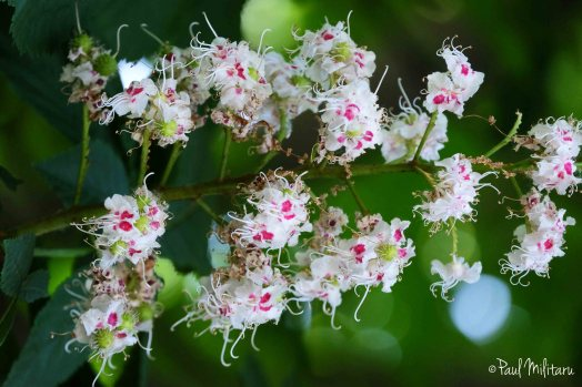 flowers of wild chestnut 1