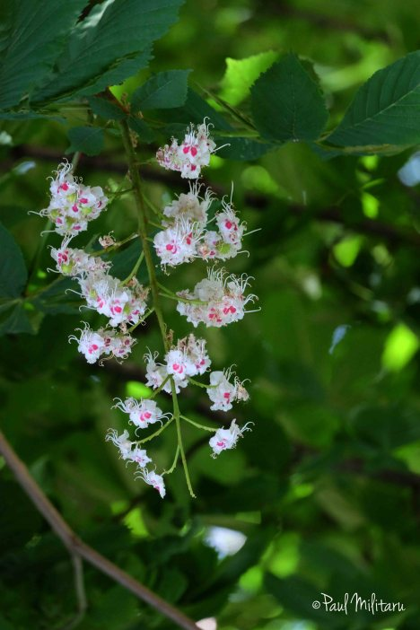 flowers of wild chestnut 3