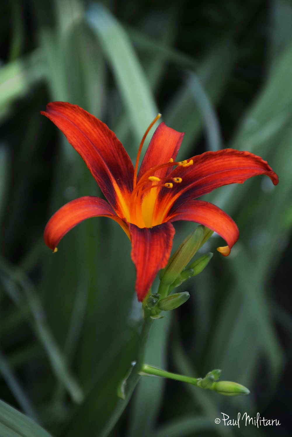 imperial lily