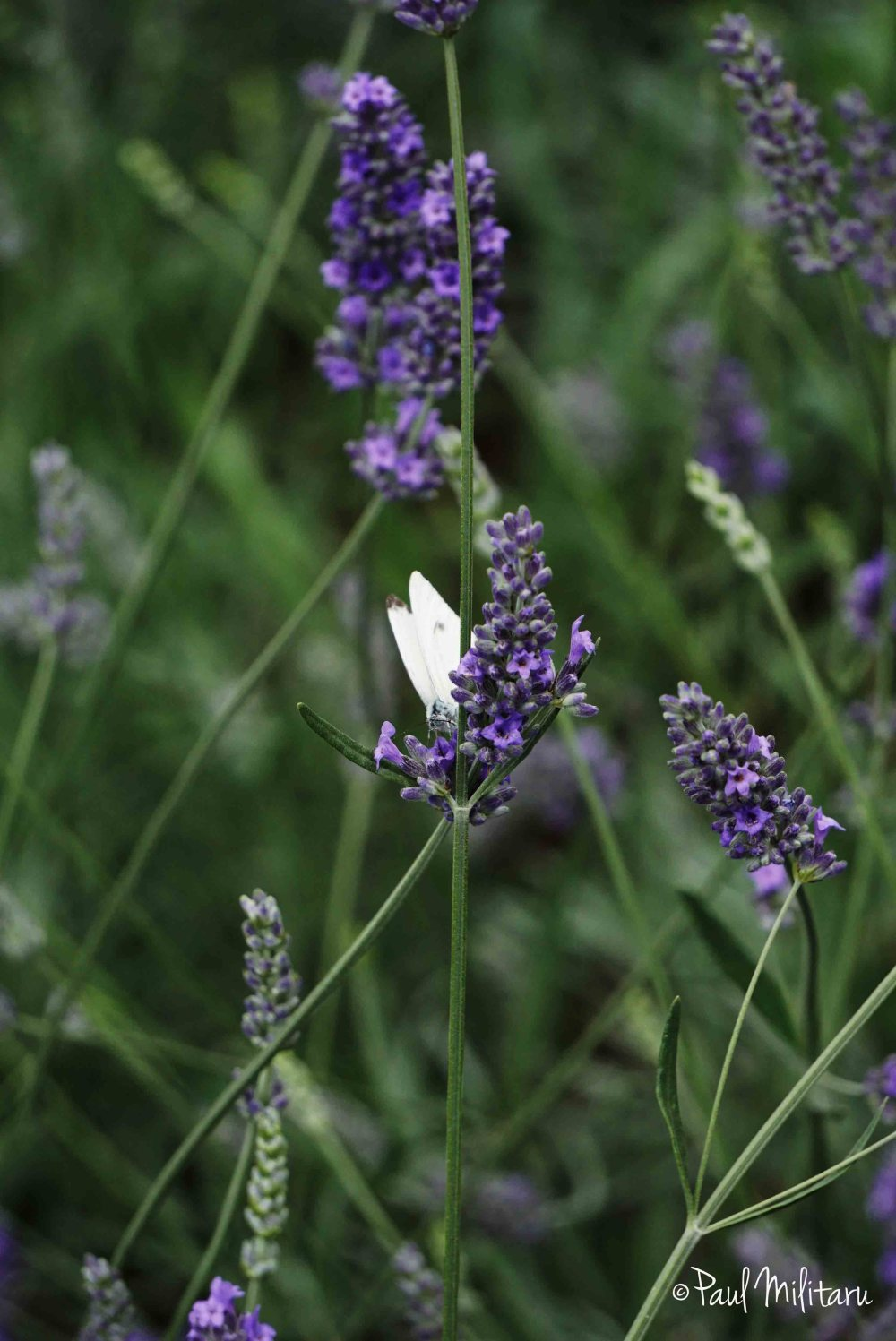 lavender and a white butterfly